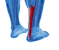 What Is the Purpose of the Achilles Tendon?